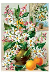 Orange Blossoms (Flowers Greeting Cards)