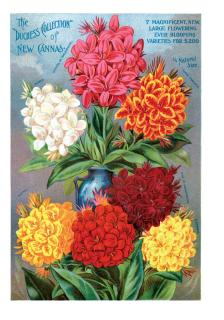 Canna Lilies (Flowers Greeting Cards)