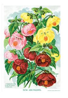Mallows (Flowers Greeting Cards)